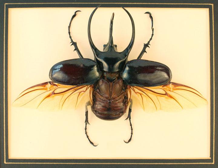 Giant Atlas Beetle Atlas Beetle | ...