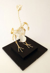 Pgeon Skeleton